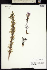 Image of Pedicularis arctica