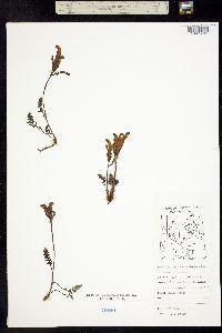 Pedicularis capitata image