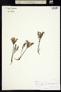 Image of Pedicularis capitata