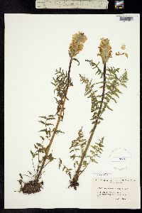 Pedicularis bracteosa image