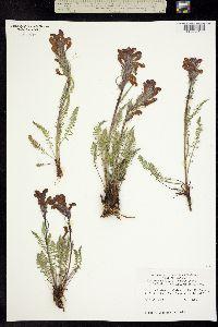 Pedicularis cystopteridifolia image