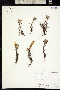 Pedicularis hirsuta image