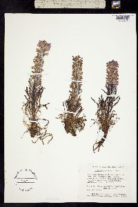 Pedicularis lanata image