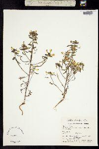 Pedicularis labradorica image