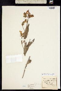 Image of Pedicularis lanceolata