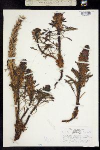 Pedicularis langsdorffii image