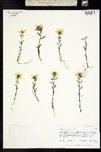 Pedicularis lapponica image