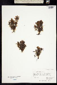 Image of Pedicularis lapponica
