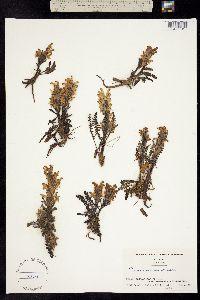 Image of Pedicularis oederi