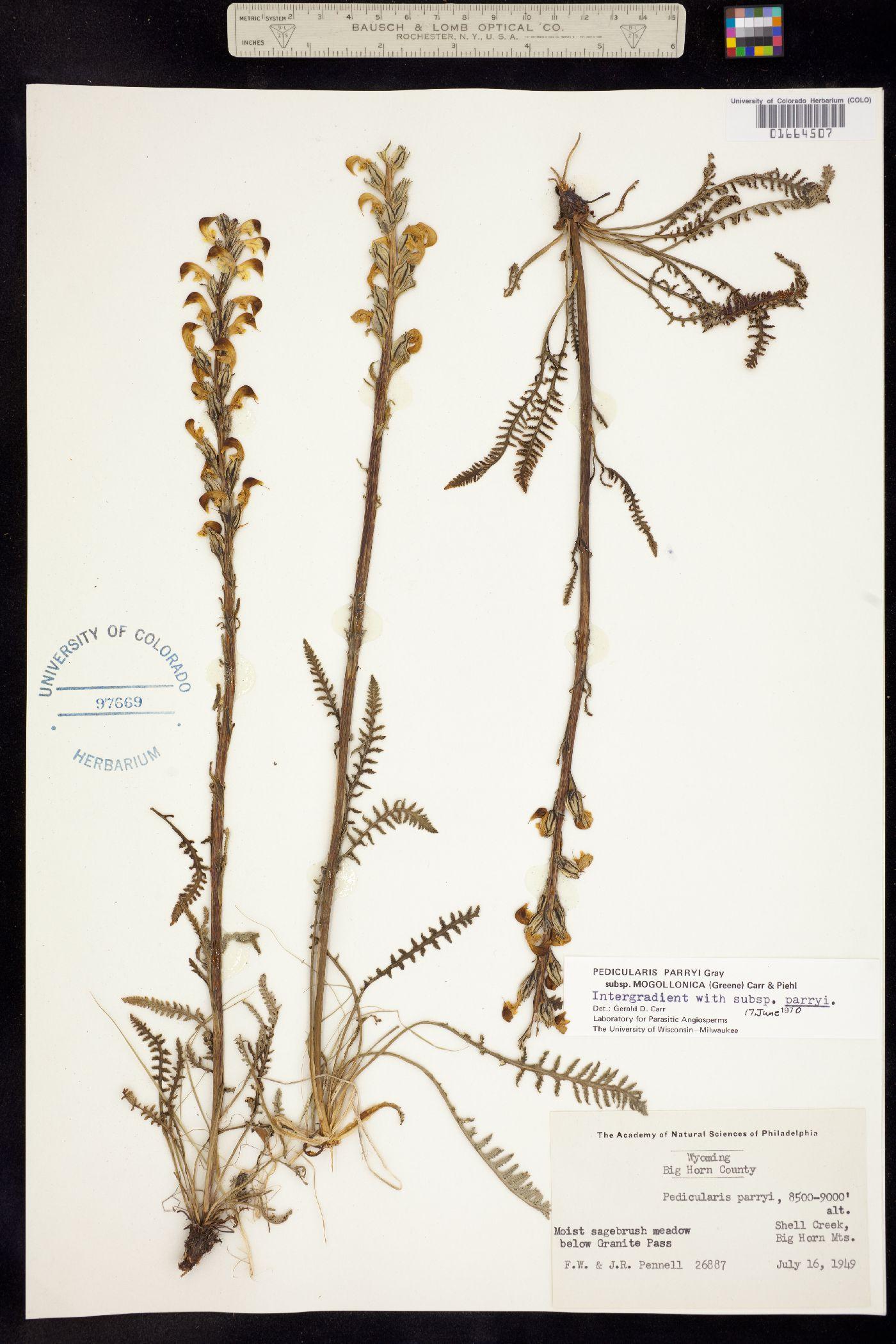 Pedicularis parryi ssp. mogollonica image