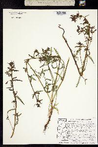 Pedicularis parviflora image