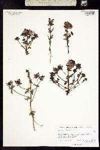Image of Pedicularis pennellii