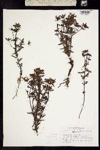 Pedicularis pennellii image