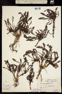 Pedicularis semibarbata image