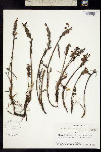 Pedicularis sudetica image