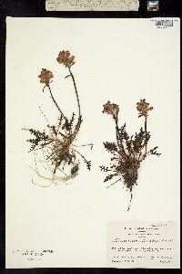 Image of Pedicularis sudetica