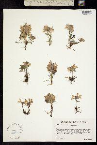 Pedicularis verticillata image