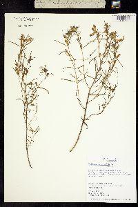 Pedicularis angustifolia image