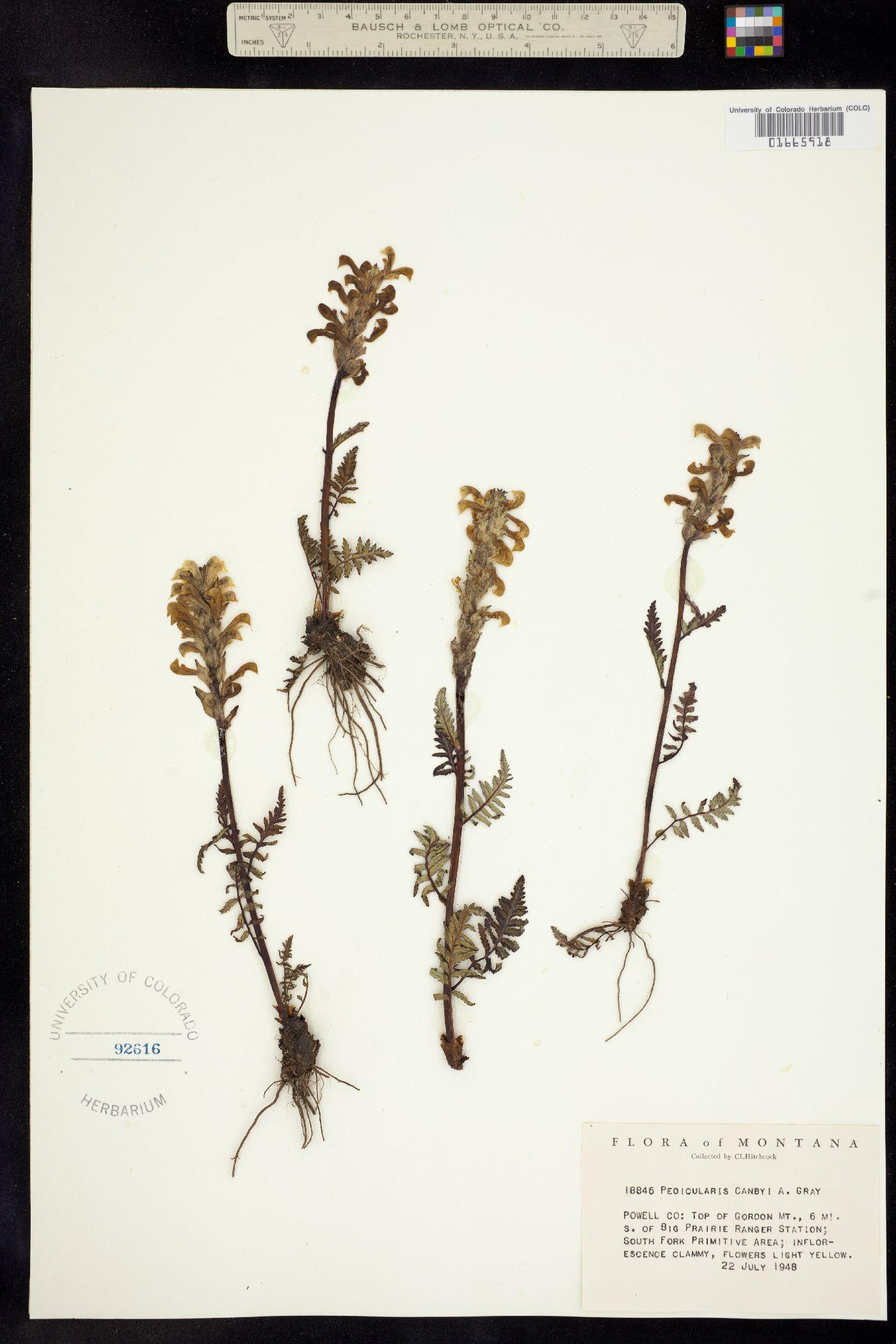 Pedicularis bracteosa var. canbyi image