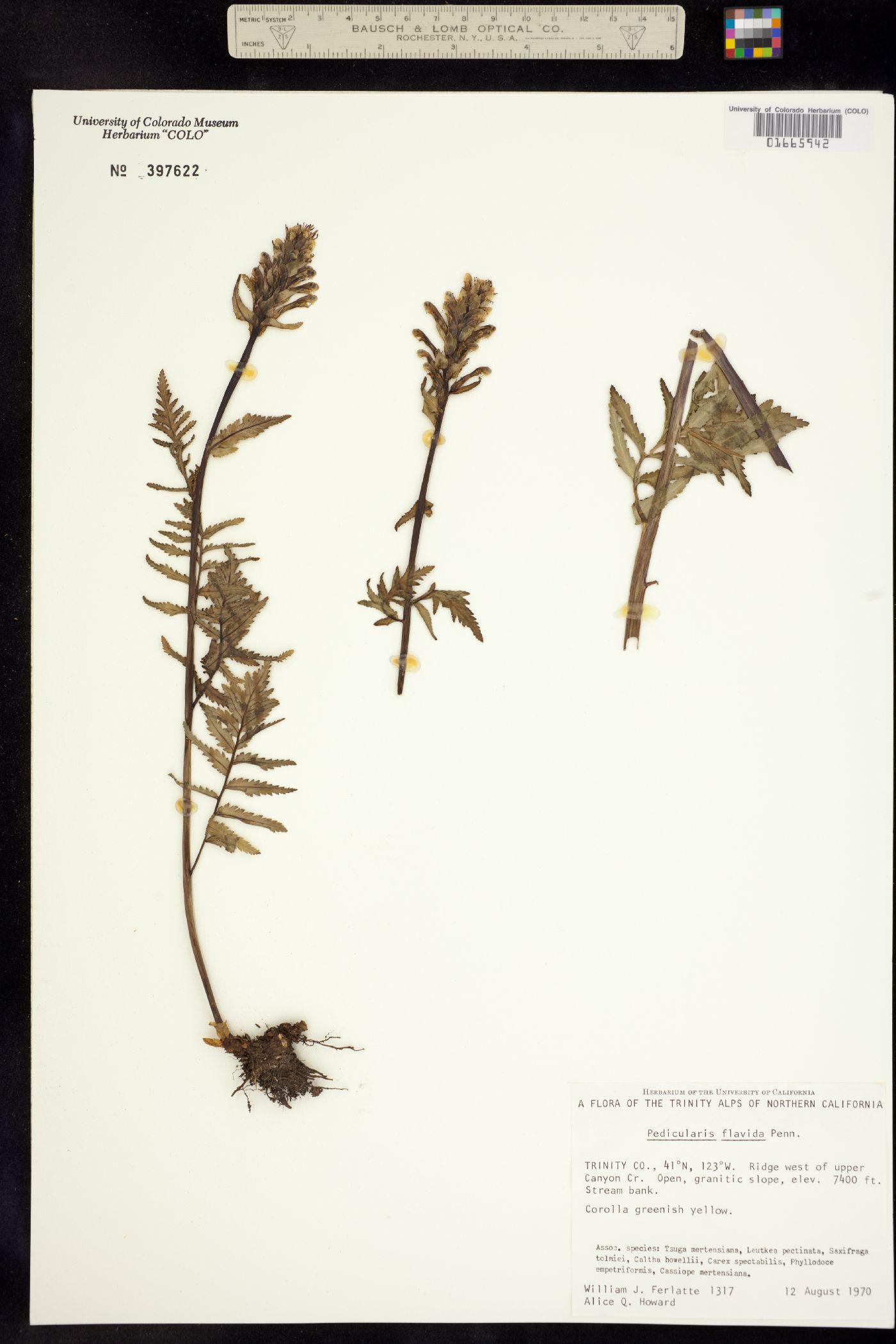 Pedicularis flavida image