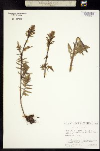 Image of Pedicularis flavida