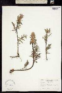 Image of Pedicularis latifolia