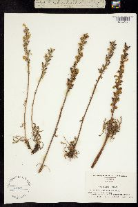 Image of Pedicularis lunata