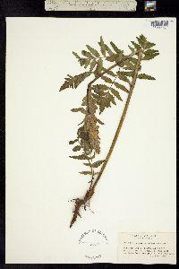 Pedicularis pachyrhiza image