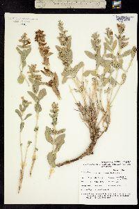 Image of Penstemon albomarginatus