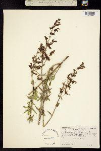 Image of Penstemon breviflorus