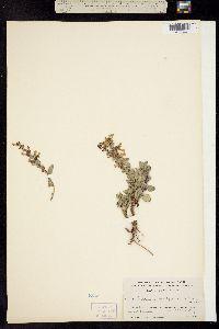 Penstemon breviflorus image