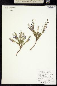Penstemon crandallii ssp. glabrescens image