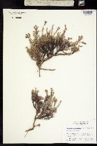 Image of Penstemon californicus