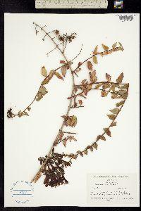 Penstemon cordifolius image