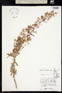 Penstemon diphyllus image