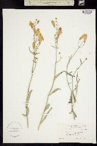 Penstemon fruticiformis image