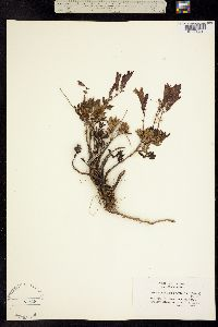 Penstemon fruticosus image