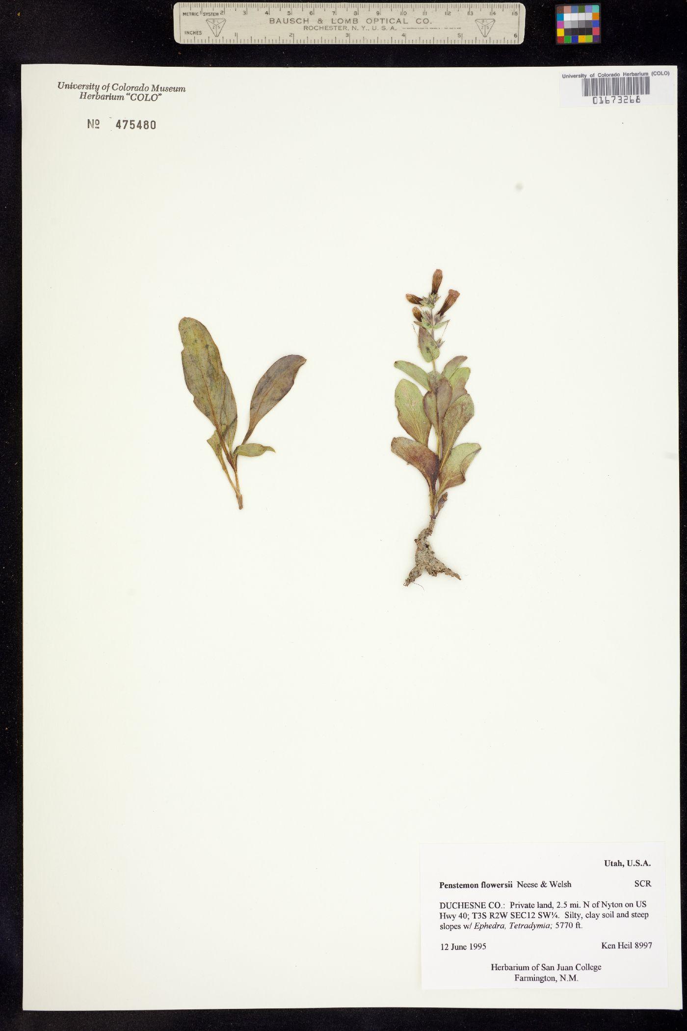 Penstemon flowersii image