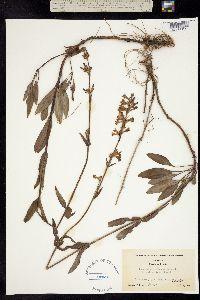 Penstemon euglaucus image