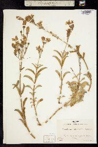Image of Penstemon grinnellii