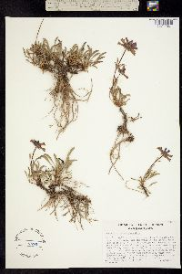 Penstemon heterodoxus image