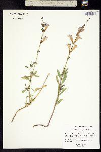 Image of Penstemon heterophyllus
