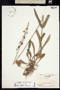 Image of Penstemon laevigatus