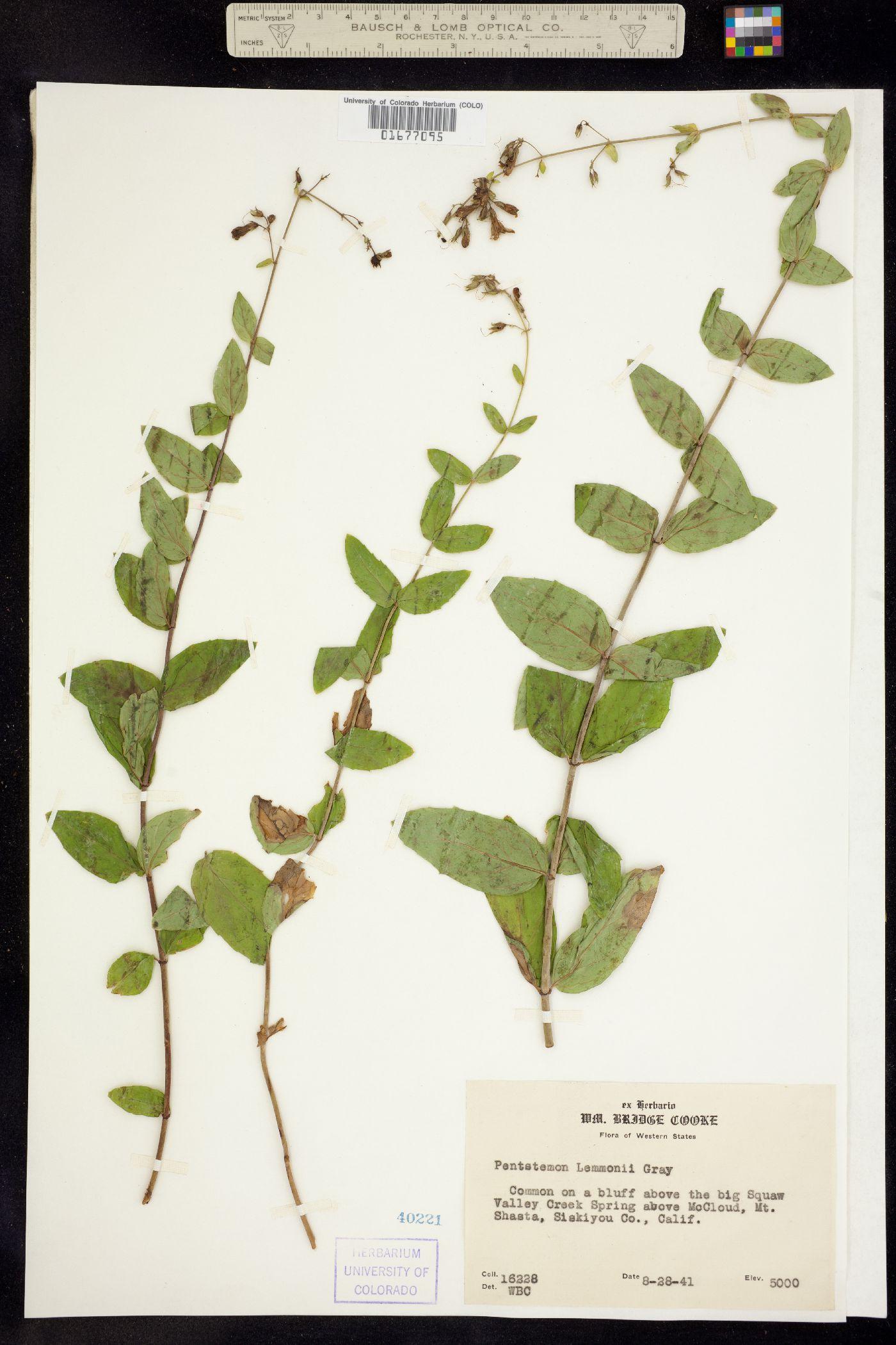 Penstemon lemmonii image