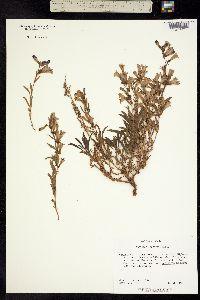 Image of Penstemon leonardii