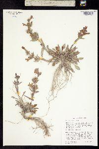 Image of Penstemon miser