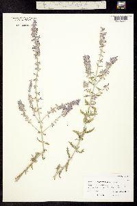 Image of Lavandula angustifolia