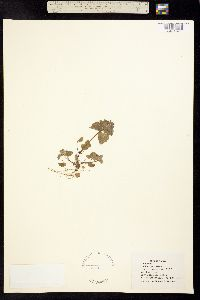 Lamium purpureum image