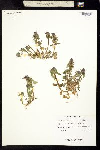 Image of Lamium purpureum