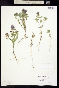 Image of Hedeoma angulata